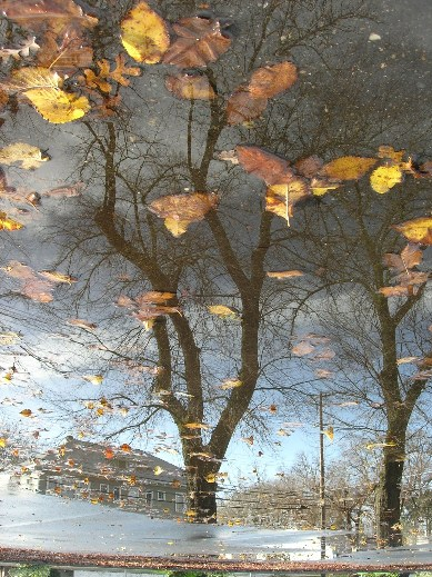 Tree Reflection with Yellow Leaves bob dreizler