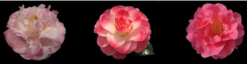 91st Annual Camellia Show